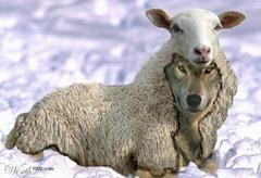 loup déguisé en agneau